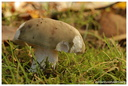 Russula fragilis Pers., 1801