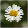 Fasciation on Bellis perennis Linnaeus, 1753