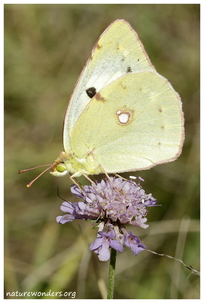 Colias hyale-F-Puivert2.jpg