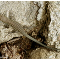 <b><i>Podarcis liolepis cebennensis</b></i> Guillaume & Geniez,1986 ♂||<img src=./_datas/t/6/y/t6ynvw9sux/i/uploads/t/6/y/t6ynvw9sux//2012/09/17/20120917212220-c2202e29-th.jpg>