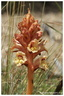 Orobanche alba Stephan ex Willd., 1800