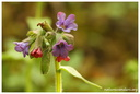 Pulmonaria officinalis Linnaeus, 1753